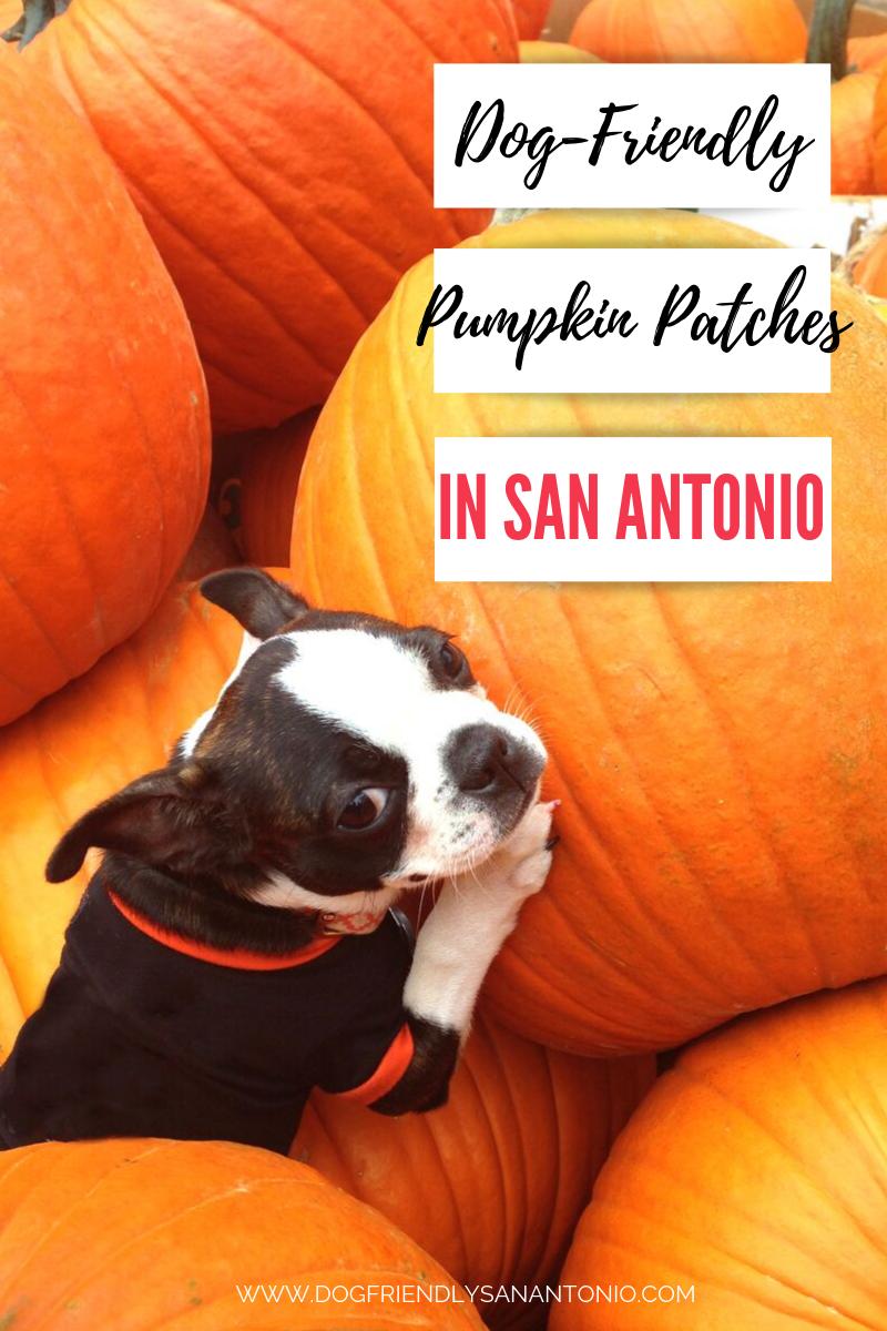 San Antonio Christmas 2020 Pet Friendly Events Dog Friendly Pumpkin Patches in and Around San Antonio   Dog